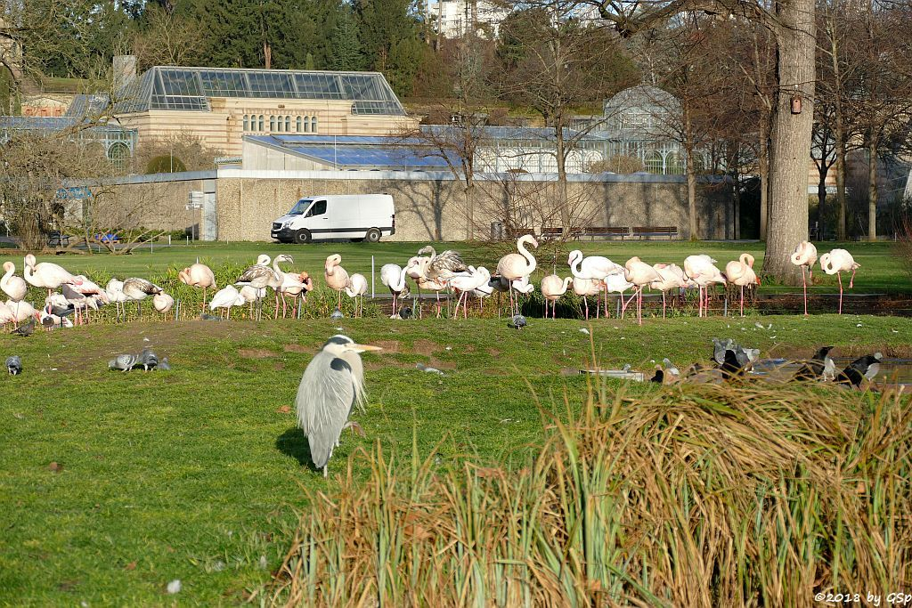 Graureiher (/Fischreiher), Rosaflamingo (Europäischer Flamingo)