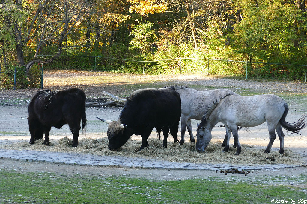 Heckrind (Rückgezüchteter Auerochse), Waldtarpan (Rückzüchtung, Tarpanfarbiges Hauspferd)