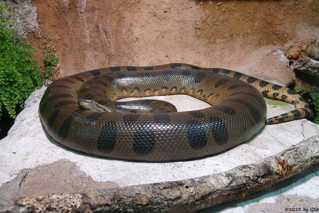 Große Anakonda (Grüne Anakonda)