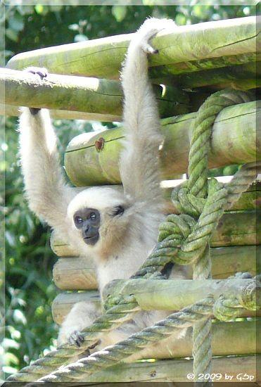 Gibbon-Mischling, geb. am 5.7.08