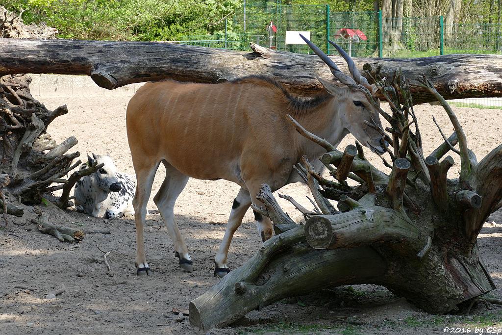 Zwerg-Zebu,