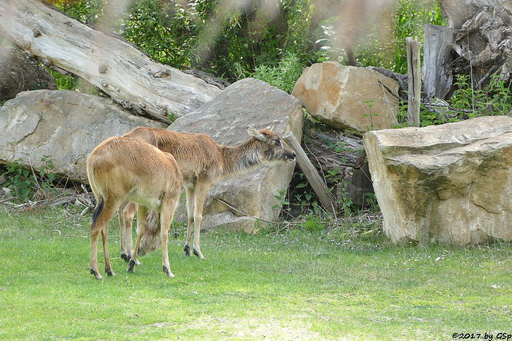 Weißnacken-Moorantilope (Mrs. Grays Wasserbock)