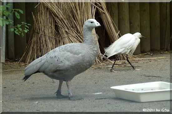 Hühnergans, Seidenreiher