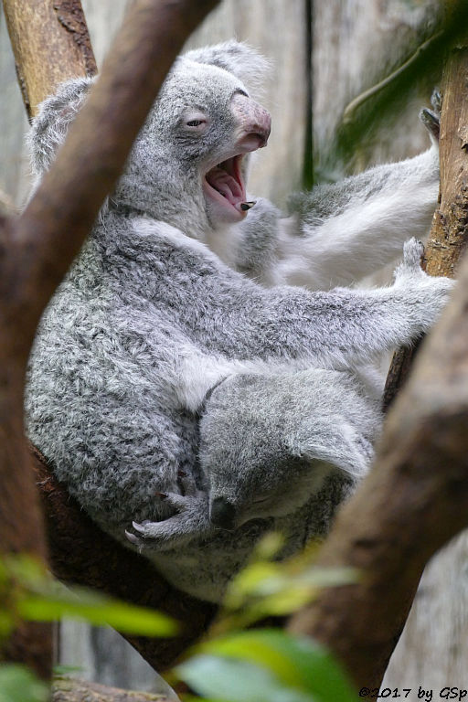 Queensland-Koala mit Jungtier RAMBOORA, geb. am 14.07.16 9 Mon. alt)