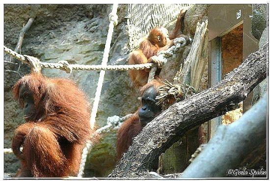 Sumatra-Orang-Utans und Weißwangengibbons - 136 Fotos