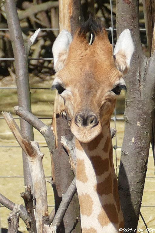 Kardofan-Giraffe ONONG, geb. am 28.02.17 (3 12 Wo.alt)