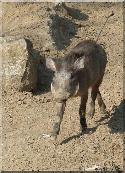 Warzenschwein- Jungtier, geb. 12.12.11