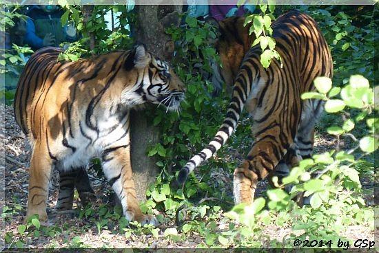 Sumatratiger MALEA und IBAN