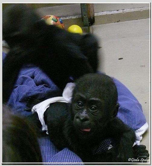Gorillababy MONZA