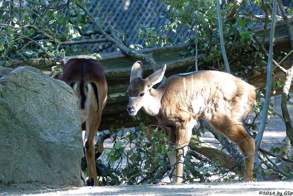 Impala und  Großer Kudu, geb. am 14.08.14