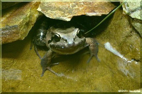 Antillen-Ochsenfrosch