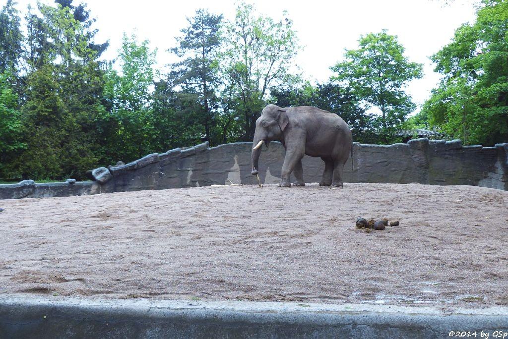 GAJENDRA vom Tierpark Hellabrunn, München