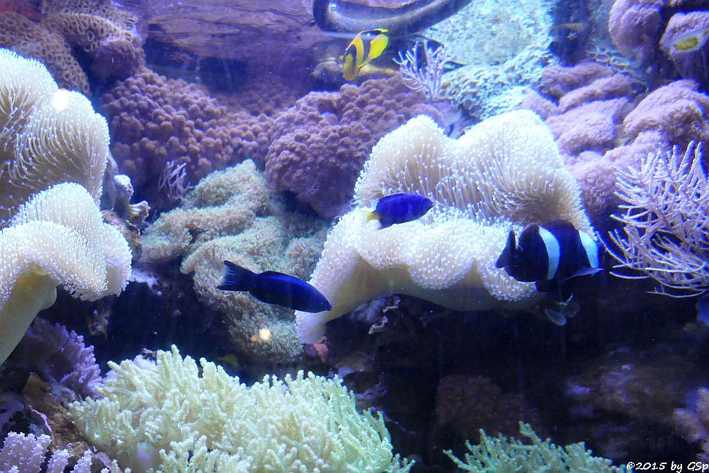 König-Salomon-Zwergbarsch, Gelbschwanz-Demoiselle, Sattelfleck-Anemonenfisch