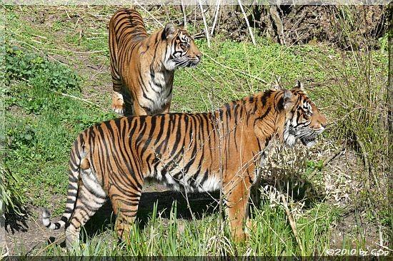Sumatra-Tiger IBAN und MALEA