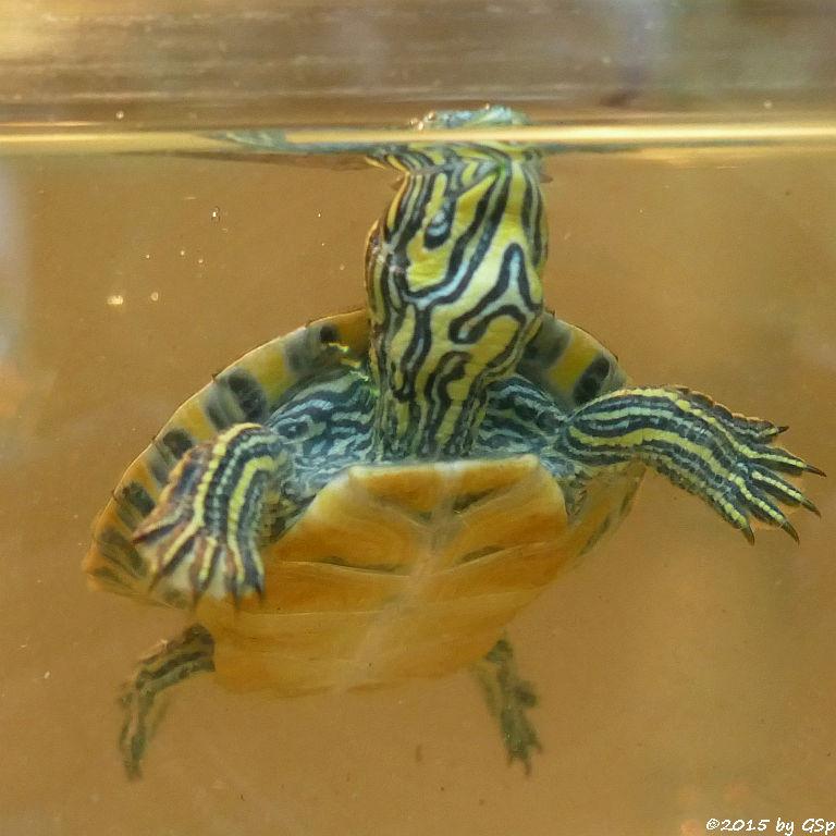 Hieroglyphen Schildkröte - Nachzucht