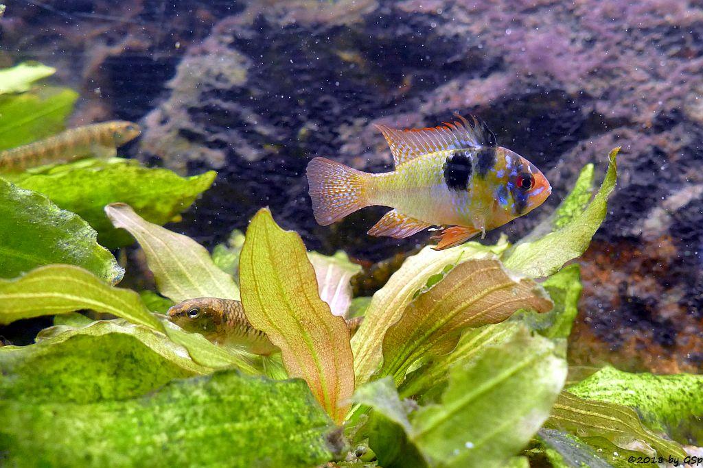 Südamerikanischer Schmetterlingsbuntbarsch (Schmetterlings-Zwergbuntbarsch)