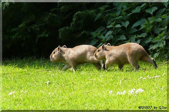 Capybara Jungtiere