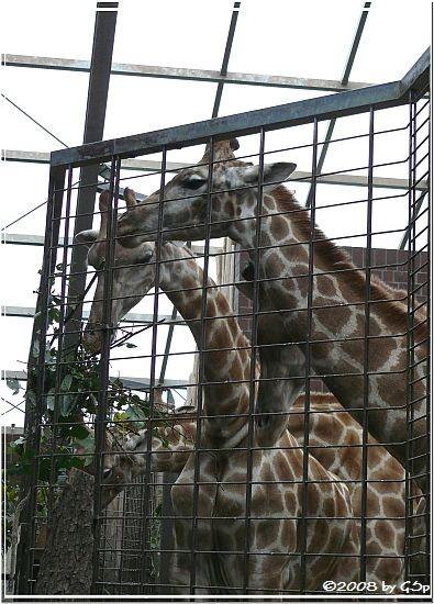 Angola-Giraffe