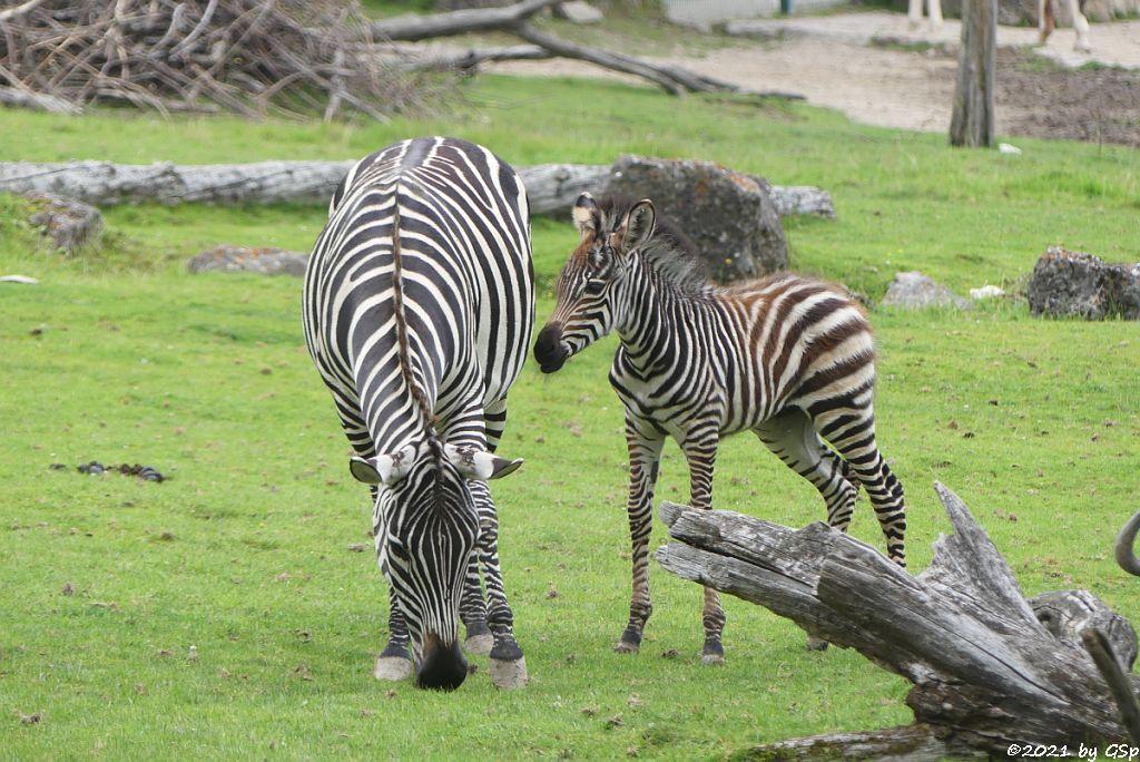 Böhm-Steppenzebra (Grant-Zebra) HELENA mit Tochter BAKARI, geb. 21.8.21