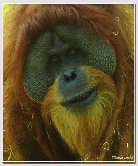Sumatra-Orang-Utan BRUNO