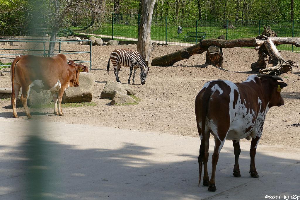 Zwerg-Zebu, Böhm-Zebra