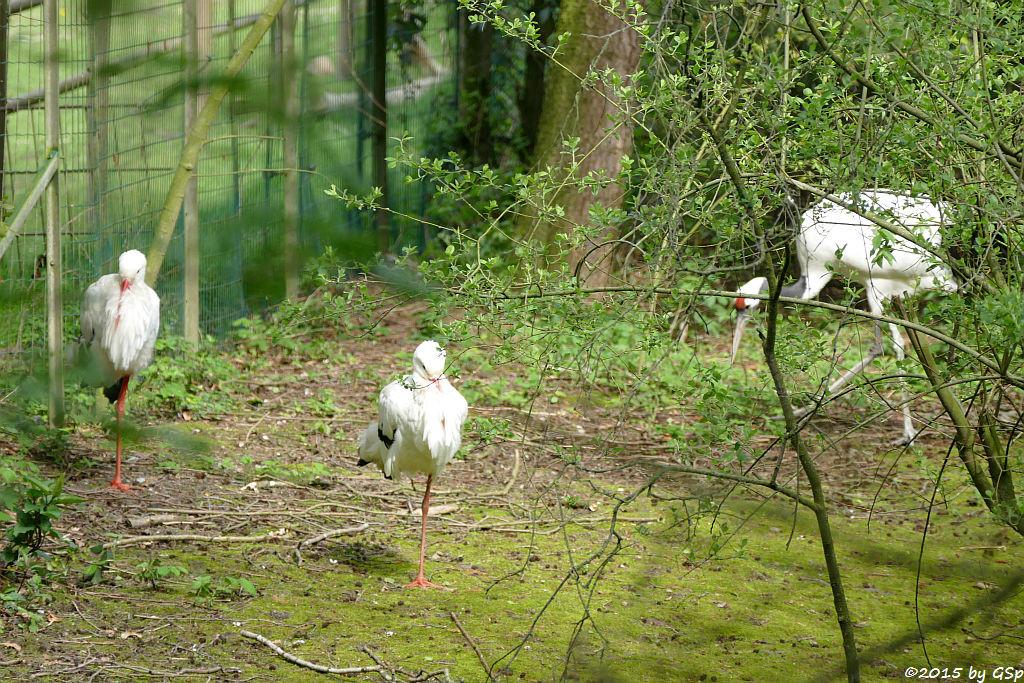 Weißstorch, Manschurenkranich