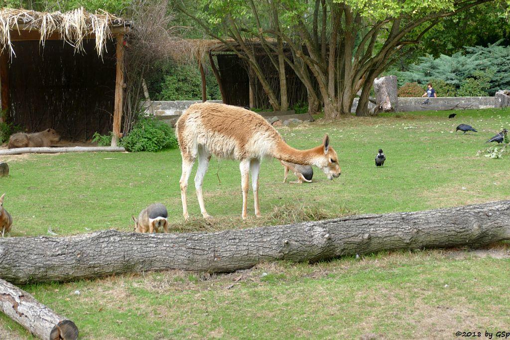 Wasserschwein (Capybara), Großer Pampashase (Große Mara, Großer Mara), Vikunja