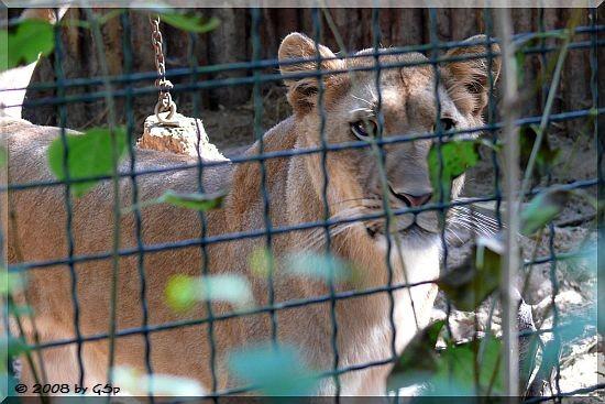 Löwenmädchen KISMET, geb.10.05.06, Mutter nach Kaiserschnitt verstorben.