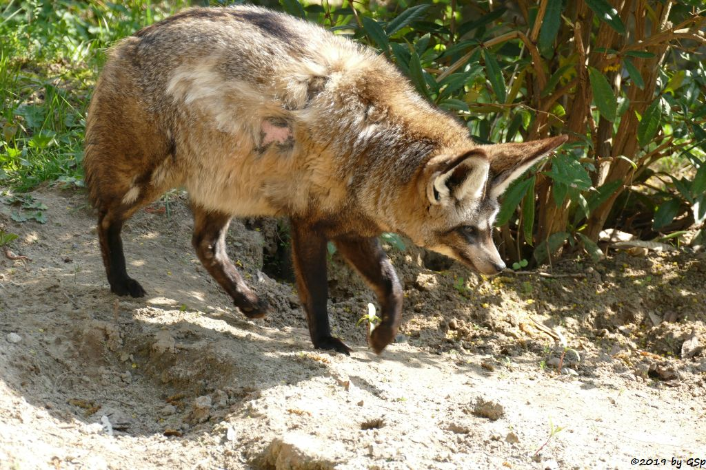 Ostafrikanischer Löffelhund