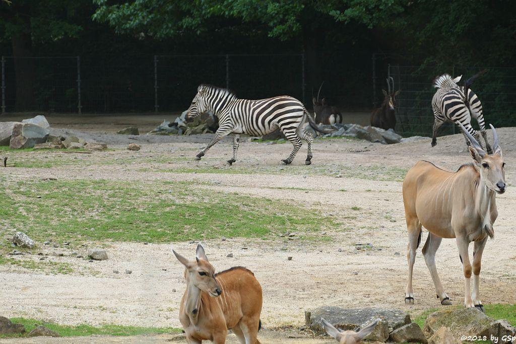 Elenantilope, Böhm-Steppenzebra (Grant-Zebra), Südafrikanische Rappenantilope