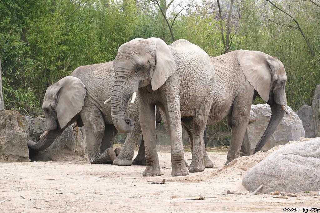 Südafrikanischer Steppenelefant (Kapelefant)