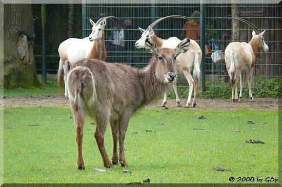 Ellipsen-Wasserbock und Säbelantilope