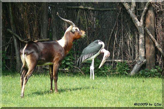 Weißnacken-Moorantilope und Marabu