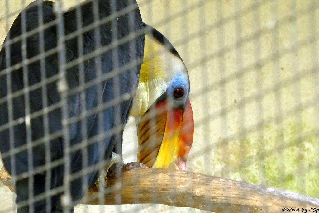 Runzelnashornvogel