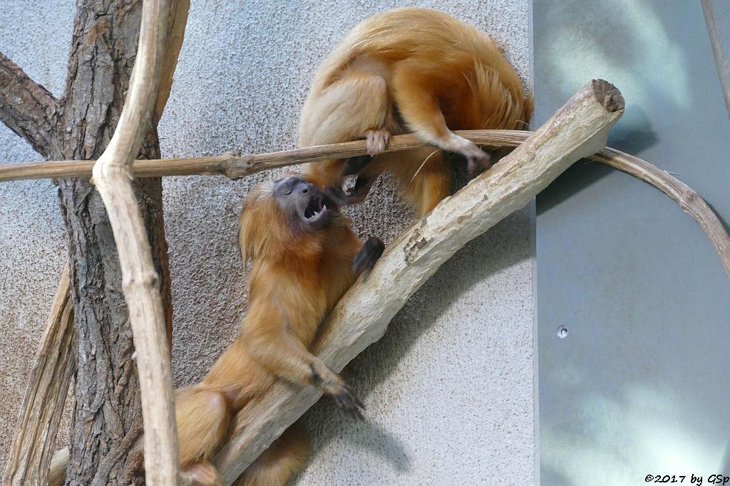 """Goldgelbes Löwenäffchen (Fotos von den am 19.3.17 geb. Jungtieren unter """"Tierisch kindlich"""")"""