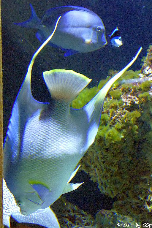 Bermuda-Engelfisch (Bermuda-Kaiserfisch)