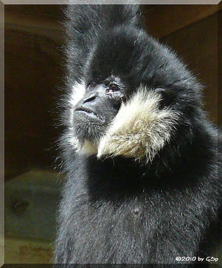 Nördlicher Weißwangen-Schopfgibbon