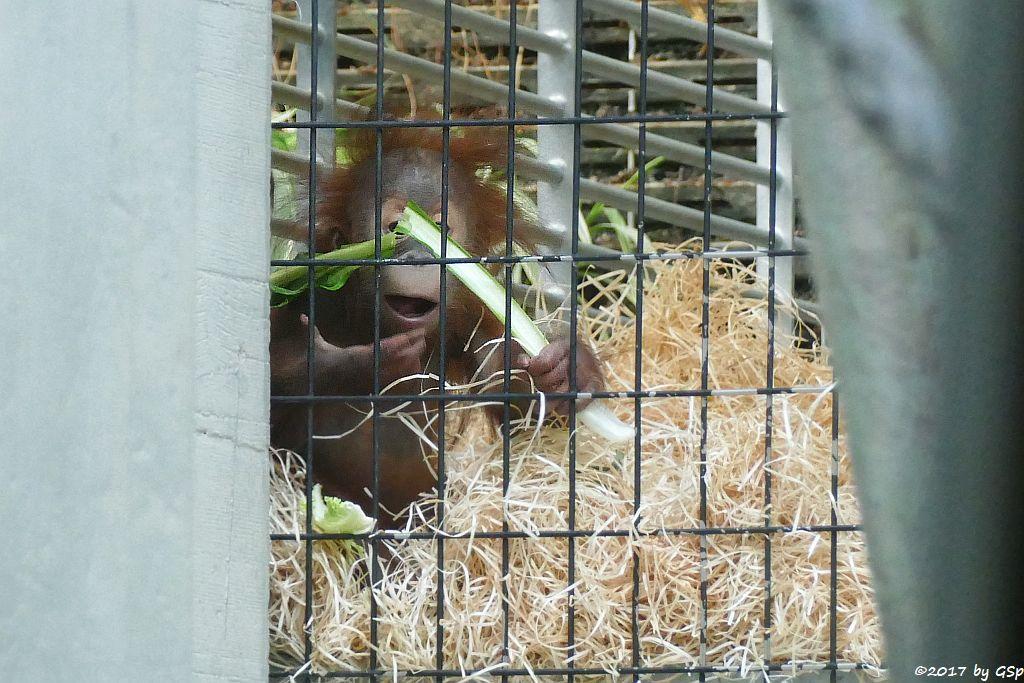 Sumatra-Orang-Utan OMBAK, geb. am 4.3.17
