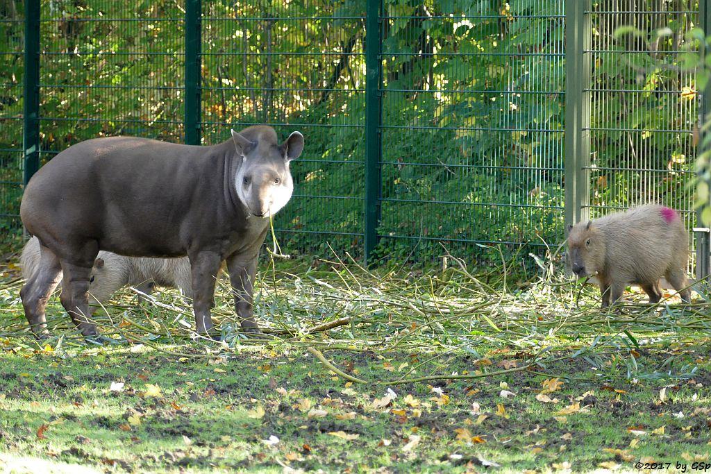 Flachlandtapir (Südamerikanischer Tapir), Wasserschwein (Capybara)