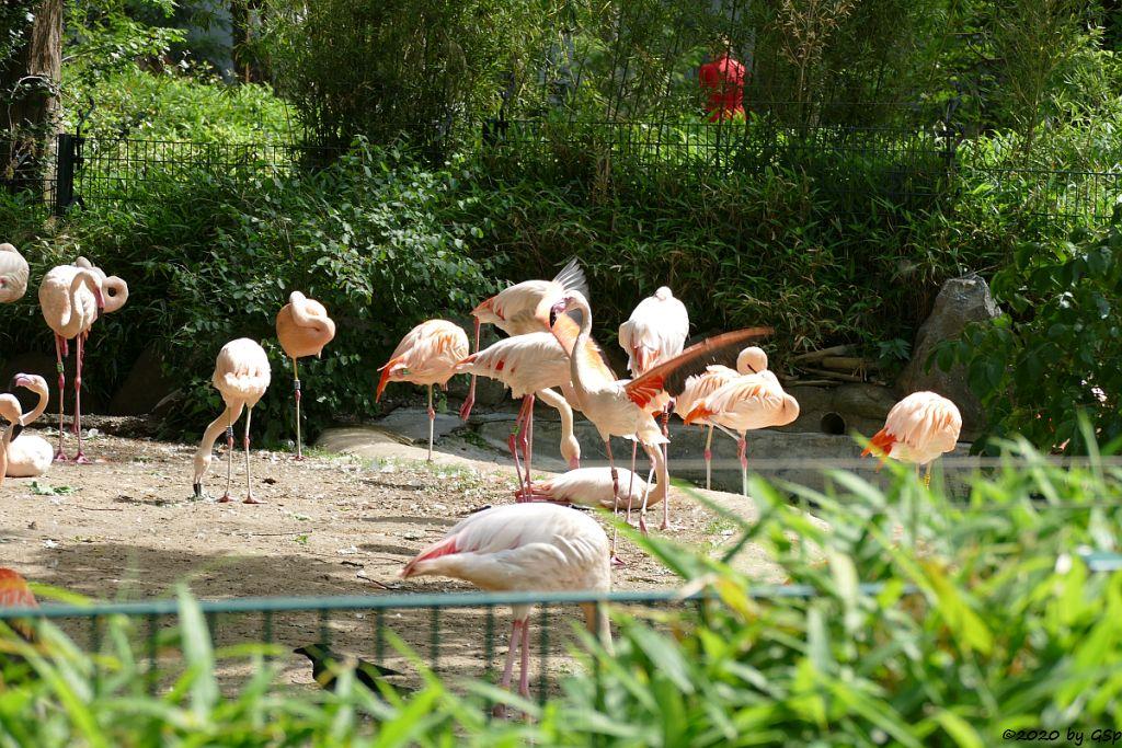 Rosaflamingo (Europ. Flamingo, Rosenroter Flamingo), Chileflamingo (Chilen. Flamingo)