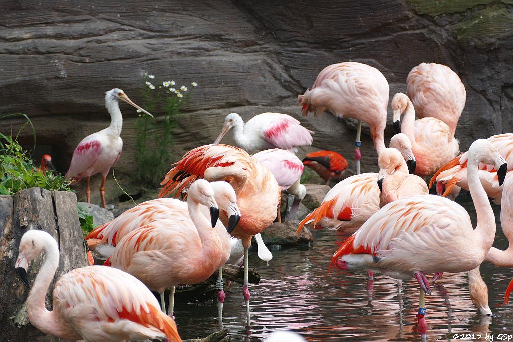 Chileflamingo (Chilenischer Flamingo), Rosalöffler, Roter Sichler (Scharlachsichler, Rotibis)