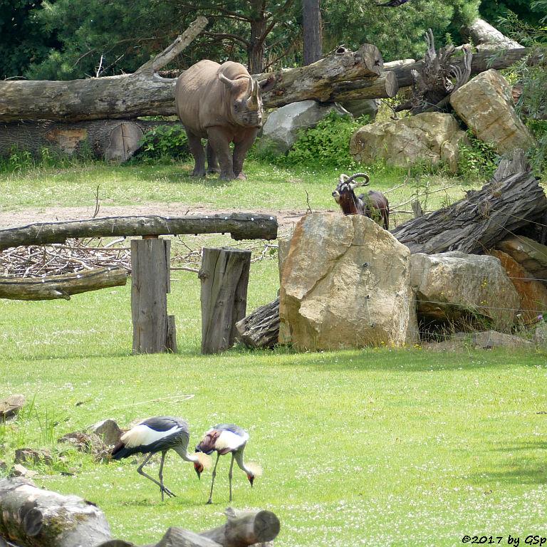 Südafrikanischer Kronenkranich, Spitzmaulnashorn (Spitzlippennashorn, Doppelnashorn), Weißnacken-Moorantilope (Mrs. Grays Wasserbock)
