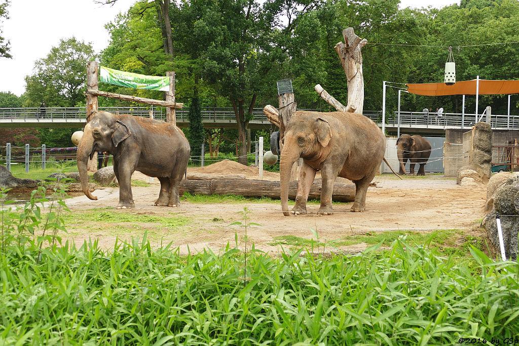 Asiatischer Elefant  RANI, SHANTI, JENNY