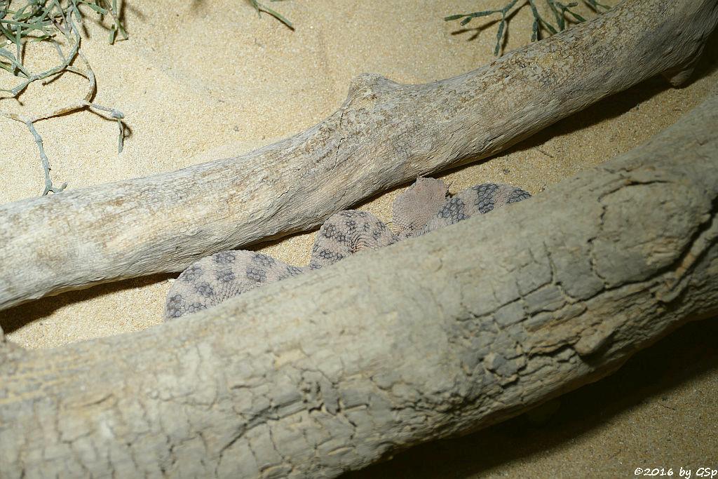 Wüstenhornviper