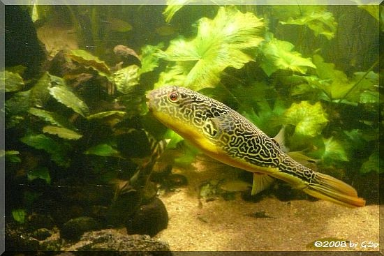 Kongokugelfisch