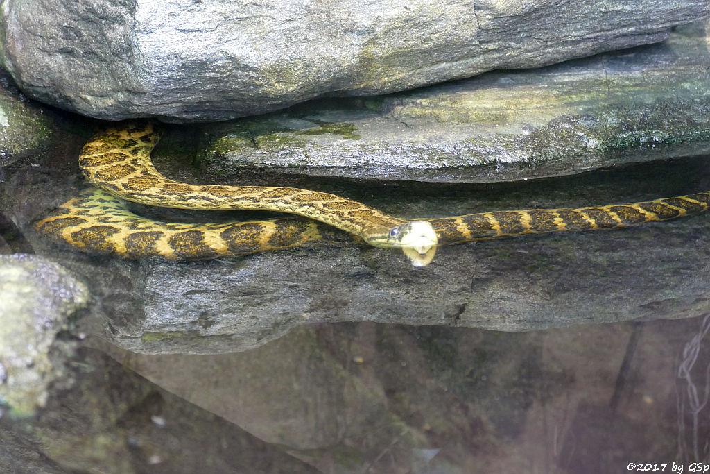 Gelbe Anakonda (Südliche Anakonda, Paraguay-Anakonda)