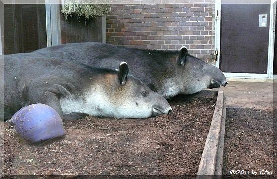Mittelamerikanischer Baird's Tapir