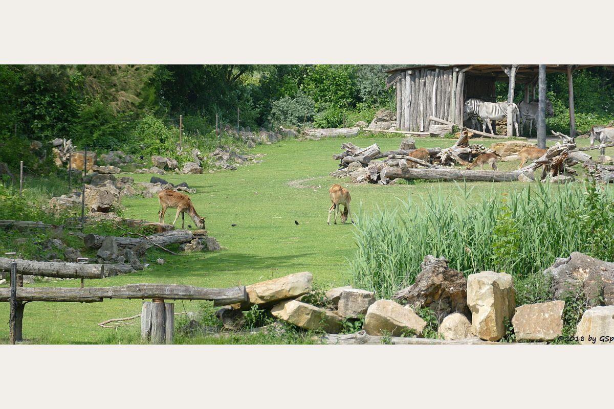 Weißnacken-Moorantilope (Mrs. Grays Wasserbock), Grévy-Zebra