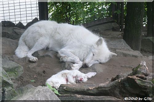 Alaska-Tundra-Wolf