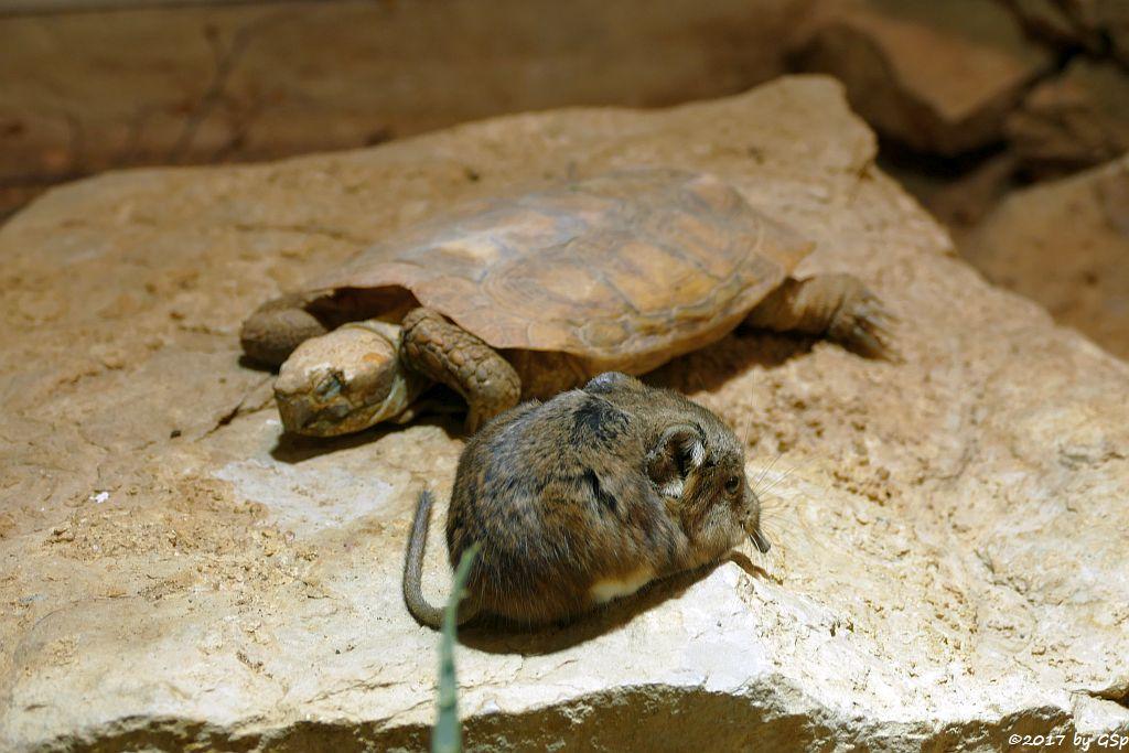Kurzohr-Rüsselspringer (Kurzohrige Elefantenspitzmaus), Spaltenschildkröte